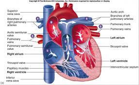 Sheep Heart Anatomy Quiz Circulatory System The Heart Human Anatomy Library