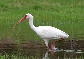 american white ibis wikipedia
