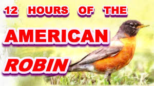 robin american robin bird whistling bird calls robin