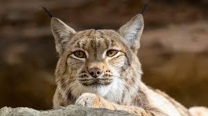 plants native to san diego lynx and bobcat san diego zoo animals u0026 plants