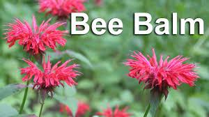 Flower Balm - grow bee balm a flower u0026 medicinal herb gardenfork youtube