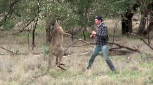 man punches kangaroo saves his dog from getting choked out vice