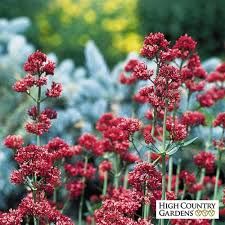 red jupiter u0027s beard centranthus ruber coccineus high country