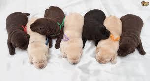 predicting colour labrador retriever puppies pets4homes