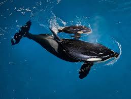 Blue Gray Biologist Orcas On Killing Spree Attacking Gray Whale Calves In