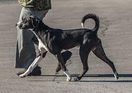 afghan hound vs wolfhound mountain cur american kennel club