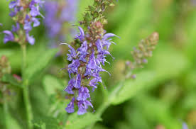 salvia flower blue hill salvia plants facts growing tips