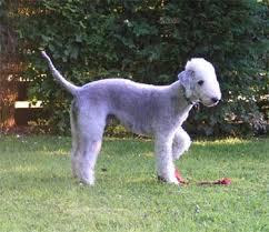 bedlington terrier guard dog bedlington terrier puppies breeders terriers