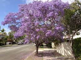 tree with purple flowers jacaranda trees are blooming coronado island information