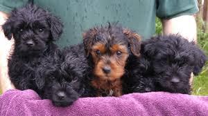 rare f1 yorkiepoo puppies kc registered parents newcastle upon