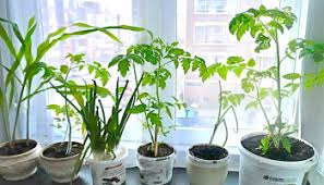 windowsill gardening for houses and schools in desertified regions