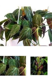Indoor Vine Plant Plant Rare Velvet Leaf Bronze Micans Vine Indoor Easy To Grow 4