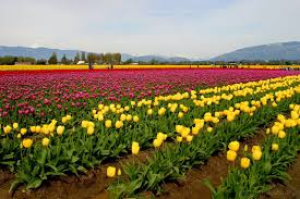 beautiful tulip fields is the best places to travel holland