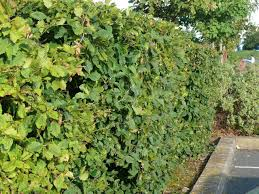 native hedgerow plants 10 native hornbeam hedging plants 40 60cm trees hedge 2ft good for