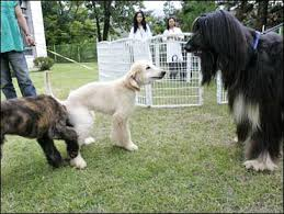 afghan hound giving birth snuppy u0027s puppies 1st cloned dog is a dad cbs news
