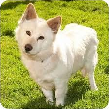 american eskimo dog short hair tina adopted dog 756 marina del rey ca american eskimo