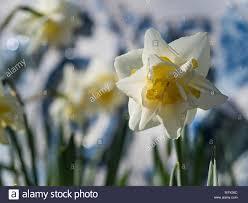imagenes flores relajantes solo blanco narciso en co de flores relajantes calmantes y