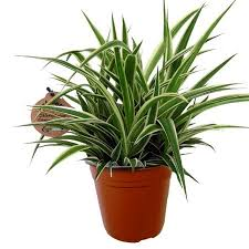 plante verte bureau chlorophytum comosum