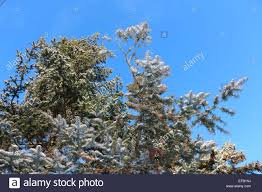 winter pine trees glistening with snow blue sky with tree