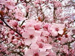 blossoms pink tree blossom floral baslee troutman