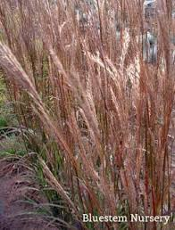 gerardii new wave big bluestem