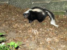 help the raccoons skunks are tearing up my lawn picture on