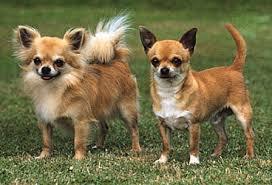 te chichi techichi breed of dog britannica