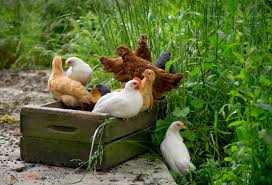 robin loznak photography backyard chickens