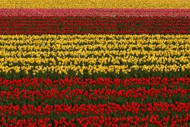 Tulip Field A Tulip Field In Full Bloom At The Tanto Tulip Festival