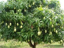 dreaming about mango trees