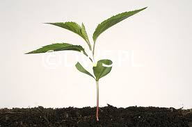 a seedling apple tree with cotyledons and three true leaves