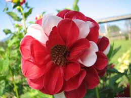 desktop wallpapers flowers backgrounds red white flower www