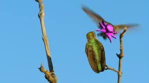 hummingbirds magic in the air full episode nature pbs