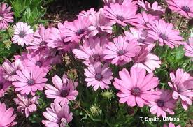 production guidelines for four crops osteospermum angelonia
