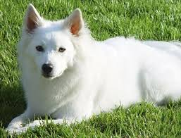 american eskimo dog black 42 best dogs images on pinterest american eskimo dog animals
