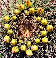 tucson native plants desert harvesters appreciating the native foods of the southwest