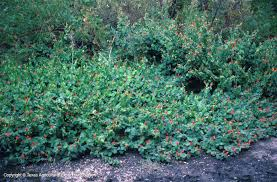 turks cap plants database
