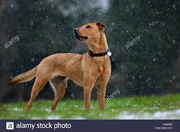 belgian shepherd dog mixed breed dog labrador belgian shepherd dog malinois and