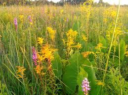 Prairie Meadows Buffet by Ecologicalgardendesign Com Prairie Meadow