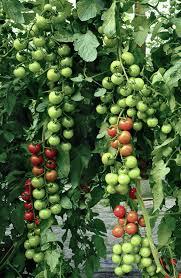 garten balkon tipps für tomaten auf dem balkon oder im garten annabelle ch