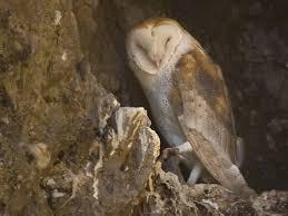 Barn Owl Sounds Barn Owl Willapa U S Fish And Wildlife Service