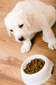 my dog won u0027t eat what to do when your lab is off his food