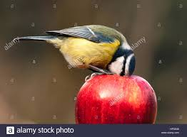stunning detailed blue wild bird eating inside a red apple