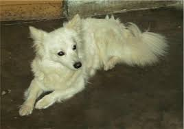 american eskimo dog edmonton index of dog photos and picture all breeds