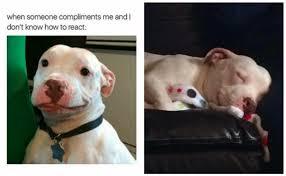 Pitbull Meme - a smirking pit bull who became a viral meme had a heartwarming