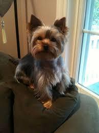 yorkie hairstyles yorkie haircut exles 57 best yorkies images on pinterest yorkie haircuts doggies