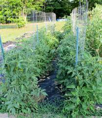Tomatoes Trellis The 5 Best Ways To Stake Your Tomatoes The Free Range Life