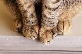 what to do if your cat u0027s paw is swollen