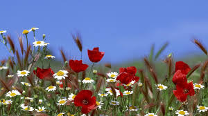 poppies and daisies poppy daisy flower flowers 1920x1080