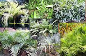 palm plants buy in kolkata